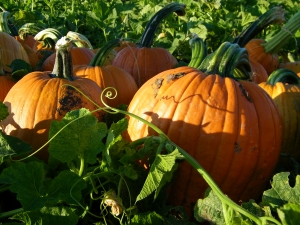 Pumpkin-Seed-Recipes-Pumpkins-Maryland